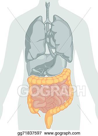 Vector Art Human Body Anatomy Intestines Clipart Drawing Gg71837597 Gograph