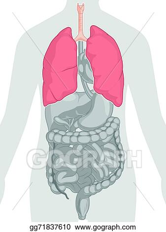 Vector Art Human Body Anatomy Lungs Clipart Drawing Gg71837610 Gograph