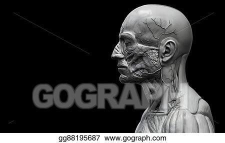 Clip Art Human Body Anatomy Of A Male Stock Illustration