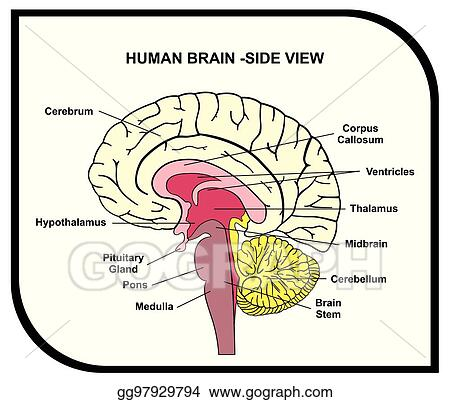 human brain diagram side view with parts cerebrum hypothalamusdiagram of the brain index listing of wiring diagramsvector art human brain anatomy diagram clipart drawing