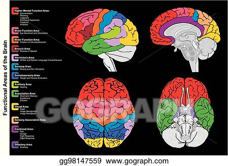 Vector Illustration - Human brain functional infographic diagram ...