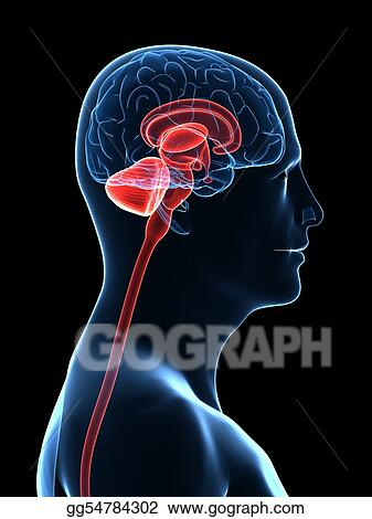 Drawings - Human brain parts  Stock Illustration gg54784302