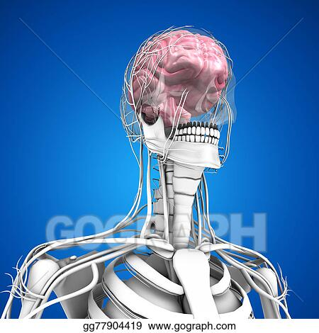 Stock illustrations human brain stock clipart gg77904419 gograph stock illustrations the human brain has many properties that are common to all vertebrate brains including a basic division into three parts called the ccuart Images