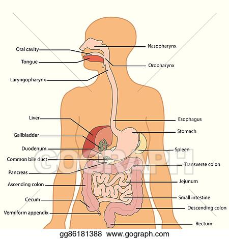 Clip Art Vector Human Digestive System Labeled Vector