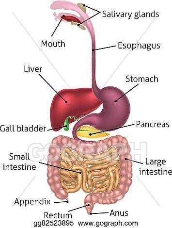 Eps Vector Human Digestive Tract System Stock Clipart