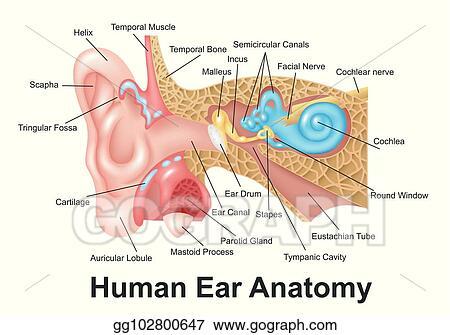 Clip Art Vector - Human ear detailed anatomy. Stock EPS gg102800647 ...