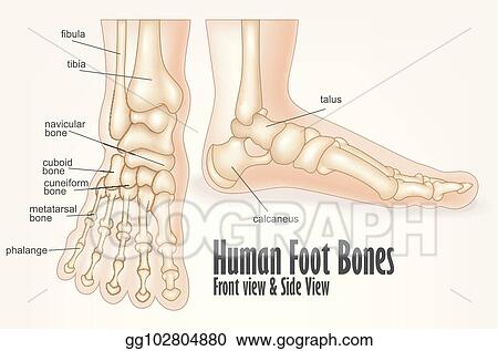 Vector Clipart Human Foot Bones Front And Side View Anatomy