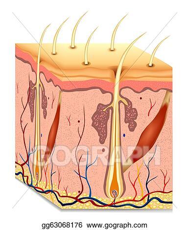 Vector Art Human Hair Structure Anatomy Illustration Vector Eps
