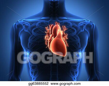 Stock Illustration - Human heart anatomy from a healthy body ...