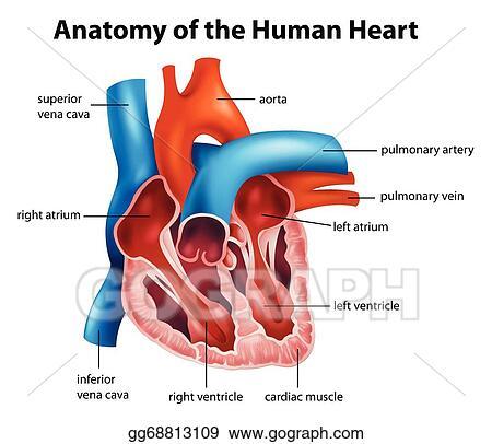 Vector Art Human Heart Anatomy Clipart Drawing Gg68813109 Gograph