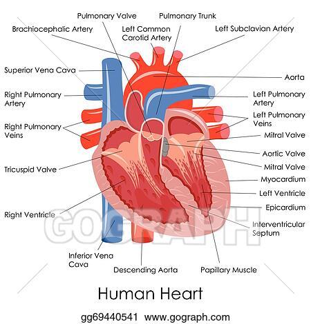 Vector Art Human Heart Anatomy Clipart Drawing Gg69440541 Gograph