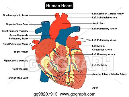 Vector Art - Human heart muscle structure anatomy diagram. Clipart ...