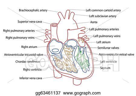 Stock illustration human heart structure clipart drawing human heart structure ccuart Images
