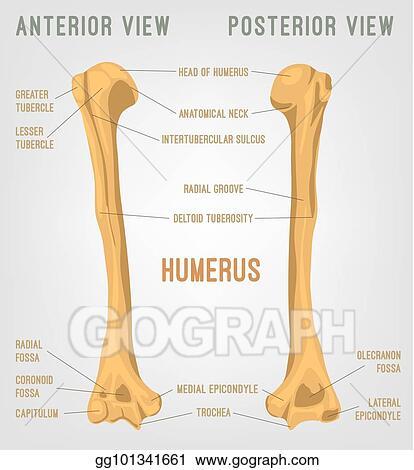 Vector Art - Human humerus bone. EPS clipart gg101341661 - GoGraph