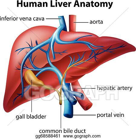Vector Stock Human Liver Anatomy Stock Clip Art Gg68588461 Gograph