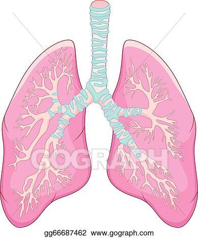 Vector Art - Human lung anatomy. Clipart Drawing gg66687462 - GoGraph