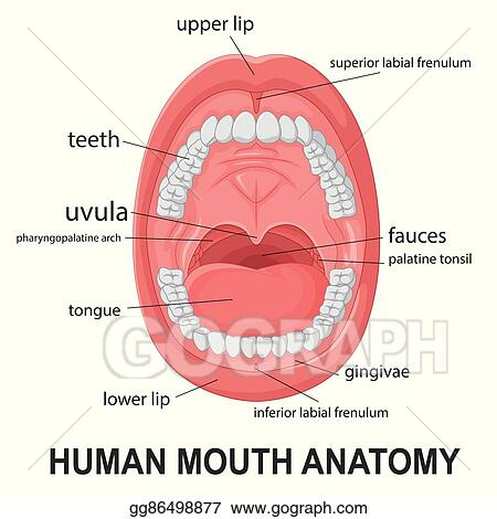 Vector Clipart Human Mouth Anatomy Vector Illustration Gg86498877