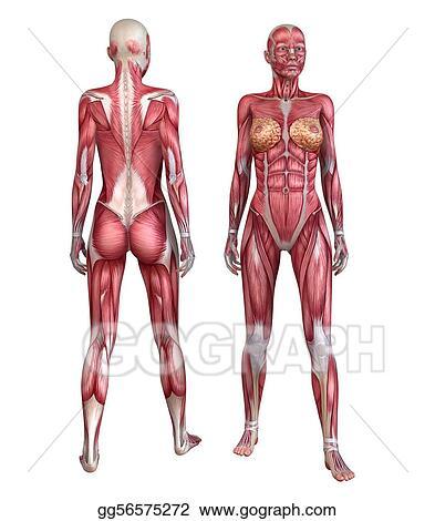 Stock Illustration - Human muscular system . Clip Art gg56575272 ...