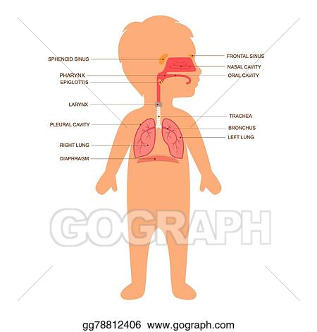 EPS Vector - Human respiratory system anatomy. Stock Clipart ...