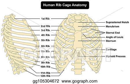 Vector Art - Human rib cage anatomy diagram. Clipart Drawing gg105304672 -  GoGraphGoGraph