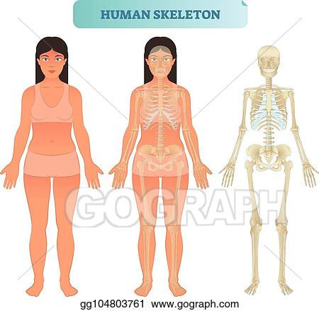 Eps Vector Human Skeletal System Anatomical Model Medical Vector
