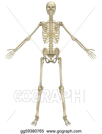 Stock Illustrations Human Skeleton Anatomy Front View Stock