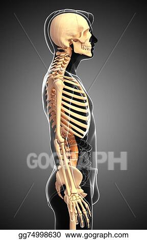 Stock Illustration Human Skeleton Side View Clipart Illustrations