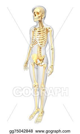 Stock Illustration Human Skeleton Side View Clipart Illustrations