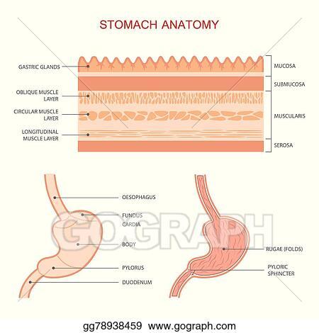 Vector Stock Human Stomach Anatomy Clipart Illustration