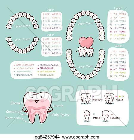 Eps Vector Human Tooth Cartoon Anatomy Chart Stock Clipart