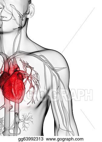 Stock Illustrations - Human vascular system. Stock Clipart ...