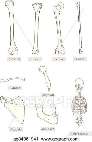 Vector Stock Humerustibiafemurfibulaclaviclesternumscapula