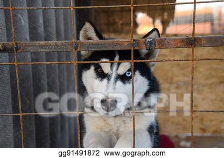 Pictures - Husky dog with different eyes  black and white