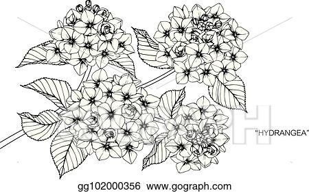 Vector Art Hydrangea Flower Drawing And Sketch With Black And