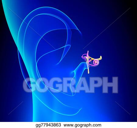 Stock Illustration - Inner ear detailed anatomy with pinna on blue ...