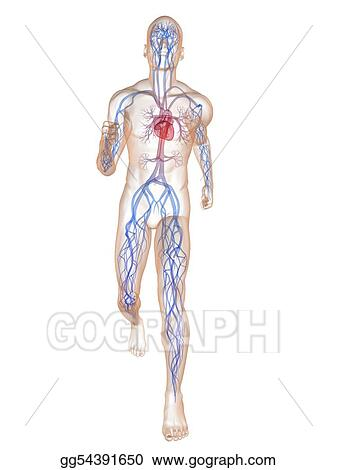 Stock Illustration - Jogger - vascular system. Clipart gg54391650 ...