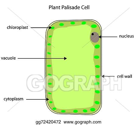 Eps Illustration Labelled Diagram Of Plant Palisade Cell Vector