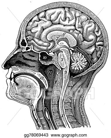 drawing longitudinal section of the human head vintage engraving
