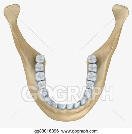 Clipart - Lower jaw skeleton and teeth anatomy. medical accurate 3d ...