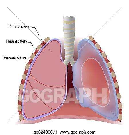 EPS Illustration - Lung pleura and pleural cavity. Vector Clipart ...