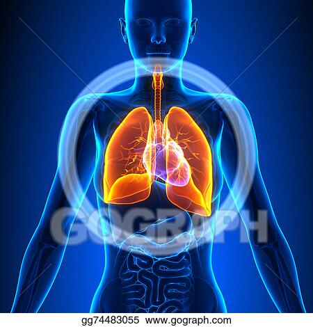Stock Illustrations - Lungs - female organs - human anatomy. Stock ...