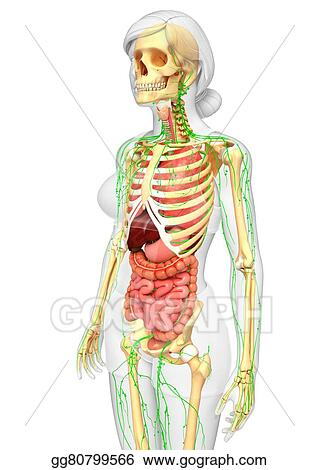 Drawing Lymphatic Skeletal And Digestive System Of Female Body