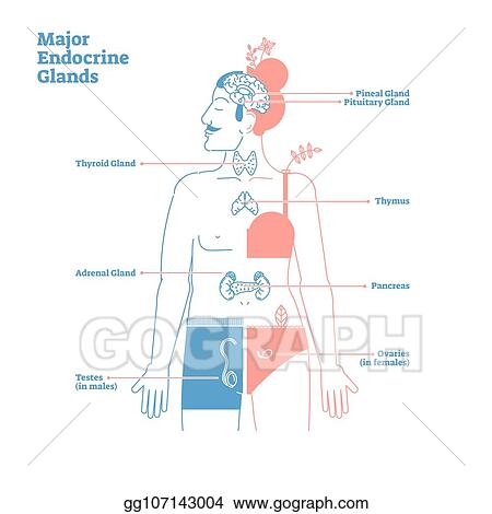 Vector Illustration Major Endocrine Glands Vector Illustration