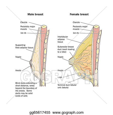 Eps Illustration Male And Female Breast Anatomy Vector Clipart