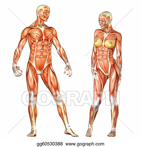 Stock Illustration Male And Female Human Body Anatomy Clip Art
