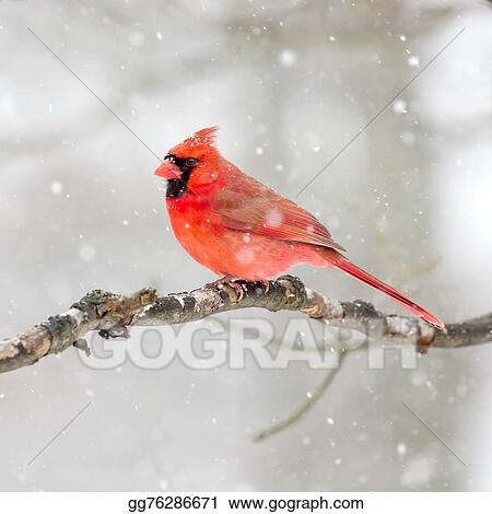 pictures male cardinal in the snow stock photo gg76286671 gograph