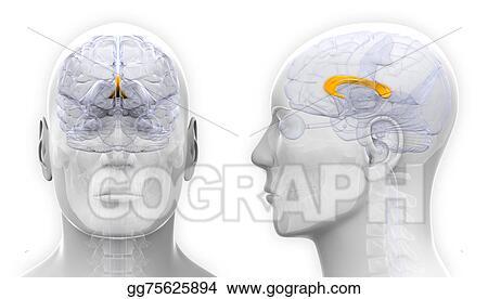 Drawing Male Corpus Callosum Brain Anatomy Isolated On White