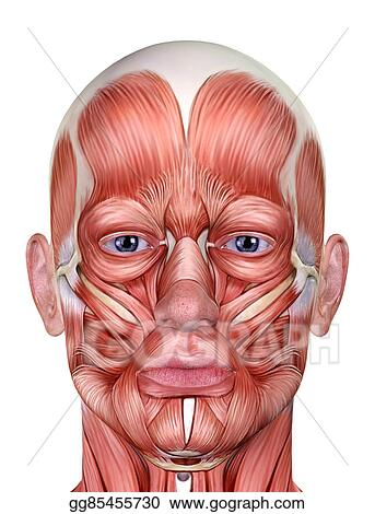 Picture - Male face muscles anatomy. Stock Photos gg85455730 - GoGraph
