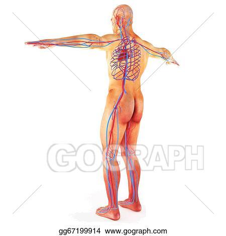 Stock Illustration Male Human Circulatory System Clip Art