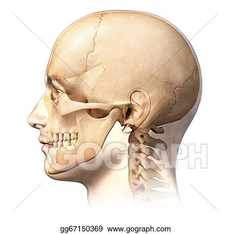 Drawing - Male human head with skull in ghost effect, side view ...